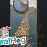 【動画】コイの学校??アヒルについて泳ぐ大量のコイたち