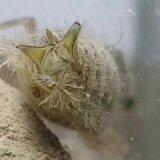 ヤゴは尻の穴から水を吸い込んで直腸にあるエラで呼吸する