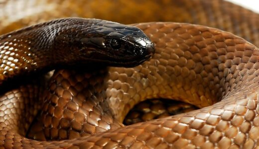 毒蛇が自分や同じ種類のヘビを噛んだらどうなるの?