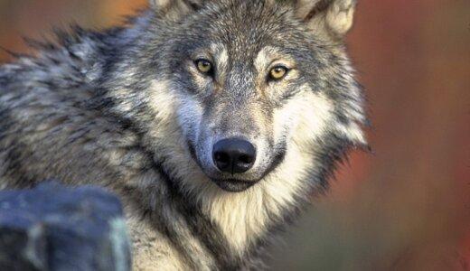 オオカミは生後22か月になると一匹オオカミになるか群れで暮らすかの決断を迫られる