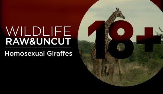 【動画】キリンの交尾の9割はオス同士による交尾