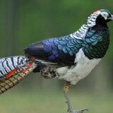 生きる芸術、おしゃれすぎる配色がヤバい鳥「ギンケイ」