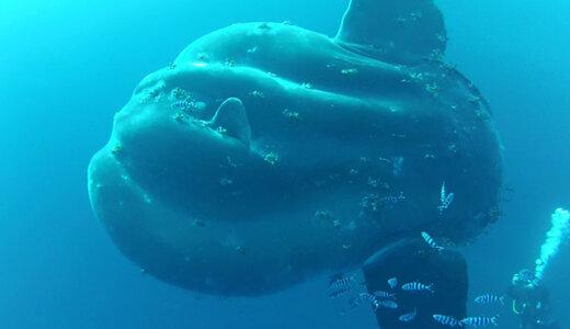 現存する最大の硬骨魚はウシマンボウ