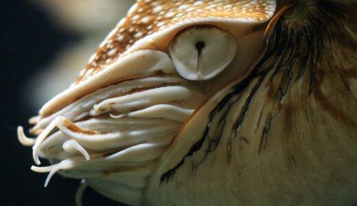 オウムガイの足(触手)の数は90本