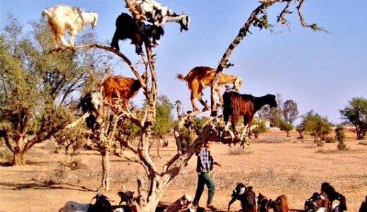 モロッコにはヤギのなる木が存在する…??
