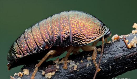 金属光沢のメタリックボディーを持つばかりかゴキブリなのに丸まるヤツ「アカガネヒメマルゴキブリ」