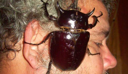 軍神マルスの名をつけられたカブトムシ界最大級なヤツ「マルスゾウカブト」