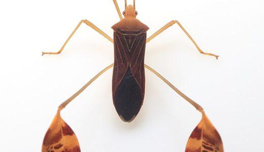 足のスネが異様に太くてバランスおかしいヤツ「グンバイヘリカメムシ 」