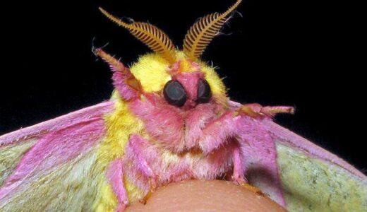 子どもウケ最高の配色!ピンクと黄色の体色のヤツ「ロージーメイプルモス」