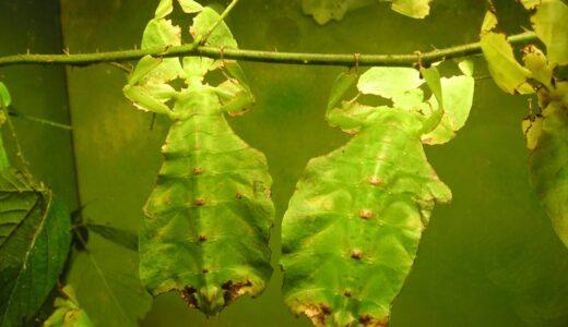 葉っぱに擬態する昆虫の究極形態なヤツ「コノハムシ」