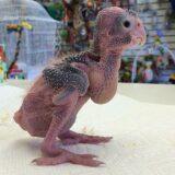 【画像】オウム類嘴羽毛病(PBFD)によって丸裸になったオウムたち