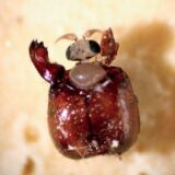 ヒアリに寄生してアリの頭を切り取って脳みそを食べて羽化するヤツ「タイコバエ」