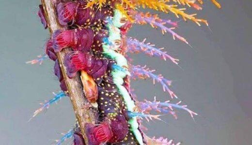 とんでもないほどカラフルで美しい毛虫「Hemileucinae」