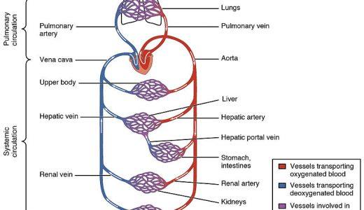 血液が体を循環するのにどれくらい時間がかかる?