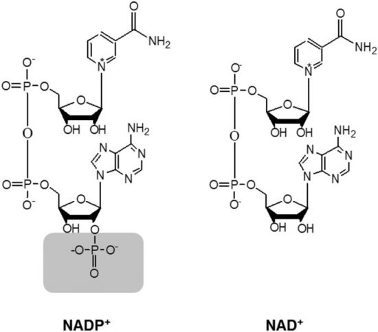 NADPHとNADHの違い | バイオハックch