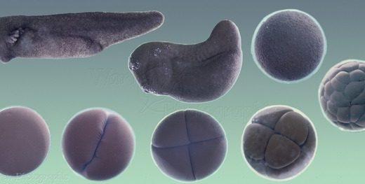 カエル発生画像