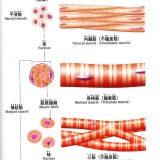 動物の筋組織-骨格筋・平滑筋・心筋の違い-