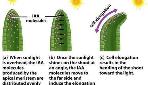 光屈性の仕組み-オーキシンとPINタンパク質の働き-