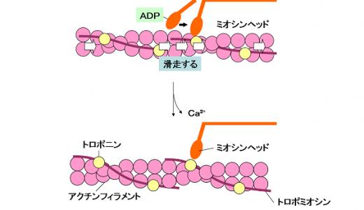 細胞内のタンパク質-モータータンパク質-