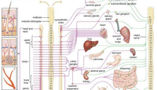 自律神経の働き確認(心臓の拍動)