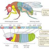 ホメオティック遺伝子群