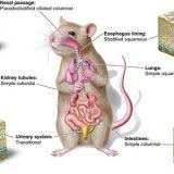 動物の上皮組織ー保護上皮・吸収上皮・腺上皮・感覚上皮ー