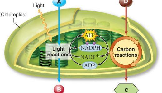 光合成の仕組みの解明