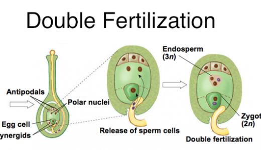 植物の受精と発生