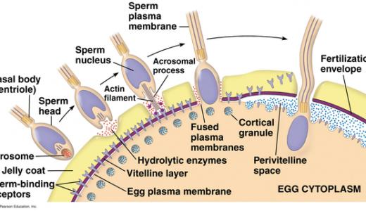 ウニの受精過程-先体反応・表層反応・多精拒否-