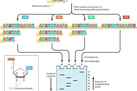 DNAの塩基配列の解析