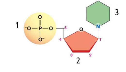 核酸(DNAとRNA)の構造