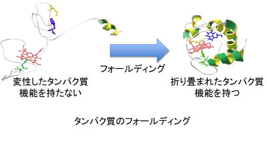 アンフィンゼンの実験「タンパク質のフォールディングの確認」