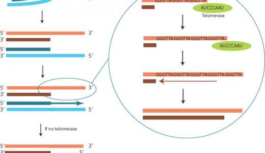 なぜテロメアのプライマーRNAはDNAに置換されないのか