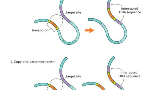 動く遺伝因子-トランスポゾン-