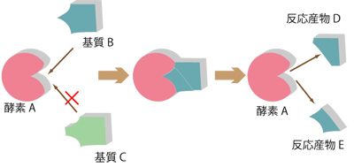 酵素反応はどのように基質と出会うのか