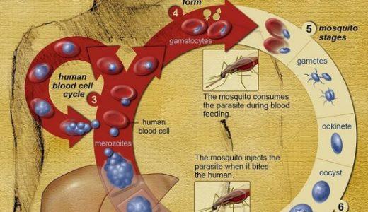 マラリアの名前の由来は「mal=悪い」「aria=空気」