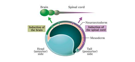 神経誘導の仕組み(ノギン、コーディンの作用)