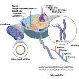 細胞質遺伝-ミトコンドリアイブ・オシロイバナの斑入り葉-