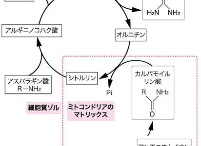 オルニチン回路(尿素回路)とは