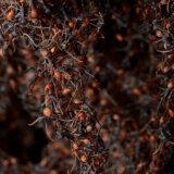 【動画】軍隊アリ、自分たちの体を使って橋を作り蜂の巣を襲撃