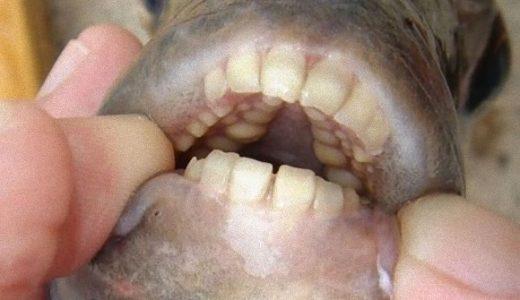 ヒトのような形の歯を持つ魚:パクー&シープスヘッド