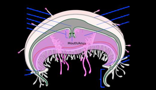 クラゲは中胚葉がないのにどのように運動(筋肉を形成)するのか