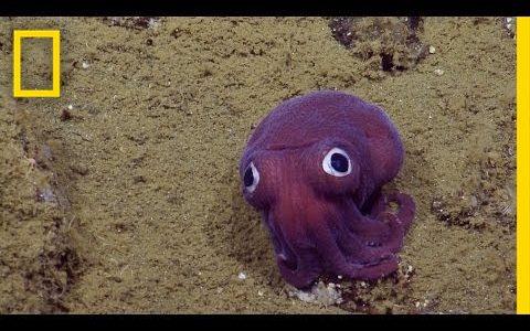 900m海底で見つかったおもちゃのような顔をした謎の生物(タコではなくイカ)!!