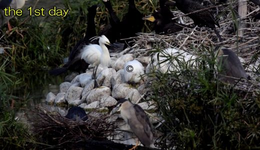 【閲覧注意】自分の子どもを突いて巣から追い出し死においやる子殺しが自然の厳しさを物語っている
