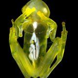 体が透けすぎて内臓が丸見えになっているカエル「グラスフロッグ(ラパルマアマガエルモドキ)」