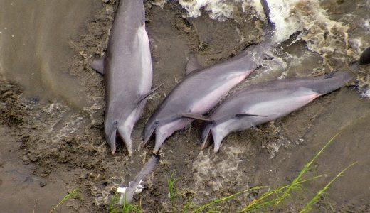ギリギリまで攻めて陸地に乗り上げる!!イルカの狩りの仕方が極めて独特