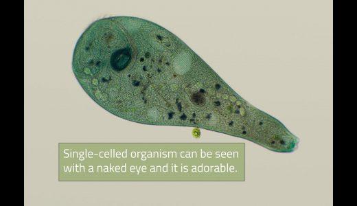 ソライロラッパムシが自由遊泳している時の様子が全くラッパムシらしくない!
