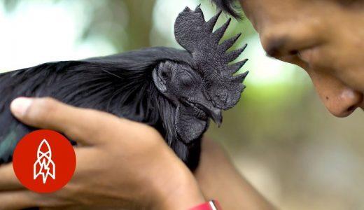 内臓に至るまで全てが真っ黒!インドネシア産のニワトリ「アヤム・セマニ」が黒すぎる