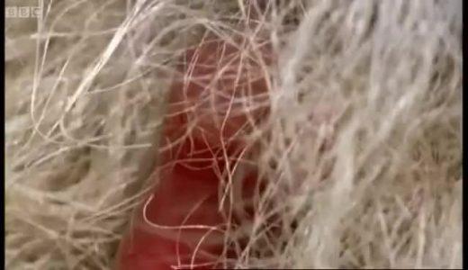 超未熟児で生まれてくるカンガルーの赤ちゃんがかわいい