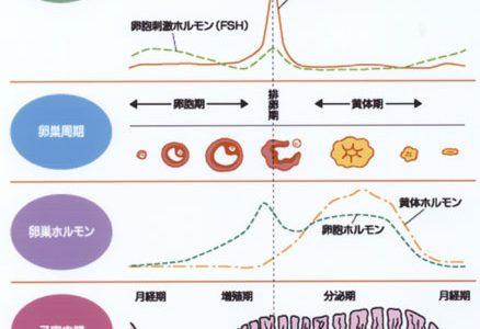 ヒトの卵巣周期:排卵・黄体形成・白体形成